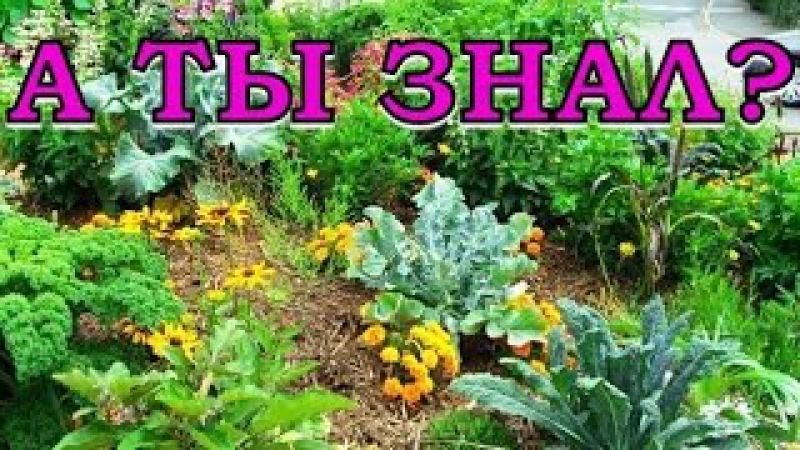 Овощи-соседи на грядках