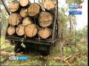 В лесу Осинском районе «черным лесорубам» перекрыли дорогу, Вести-Иркутск