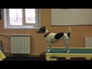Дрессировка маленьких собак! Джек Рассел терьер- Ника(1,5 года) и Андрей. Кинологический Клуб Фауна-2016. Тренер Елена Голубева