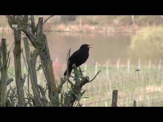 Zingende merel / singing blackbird / singende amsel (Turdus merula) / HD