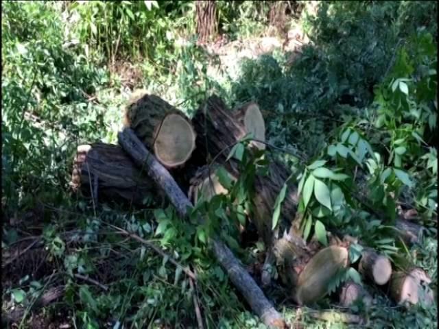У Дніпропетровській області СБУ припинила незаконну вирубку цінних порід дерев