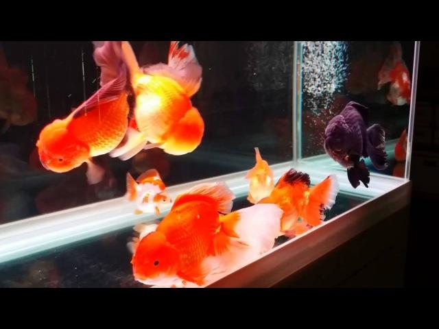 Feng Shui Goldfish Tank