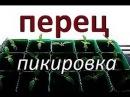 РАССАДА ПЕРЦА . ПИКИРОВКА / Перец рассада / Рассада / Перец пикировка / Пикировка ...