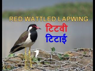 Red-wattled Lapwing / Украшенный чибис / Vanellus indicus