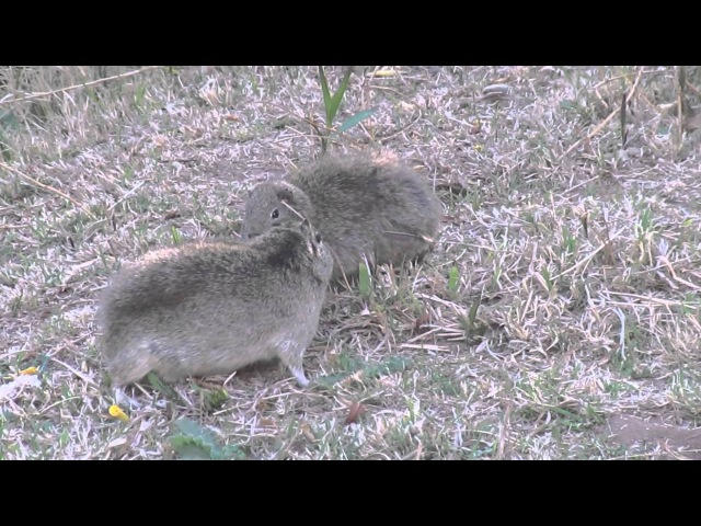 Common yellow-toothed cavy / Обыкновенная куи / Galea musteloides