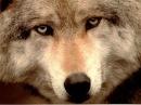 Человечность зверя / До слез трогательный ролик / ВОЛК Wolf Life