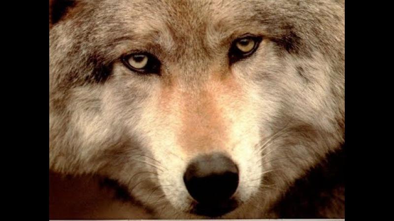 Человечность зверя До слез трогательный ролик ВОЛК Wolf Life