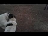 Собачьи бои тарлан г.Жанатас