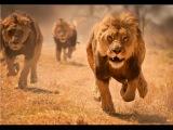 Львы хулиганы. Документальный фильм львы и львицы HD