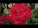 Jim Reeves - Roses are red my love.mpg