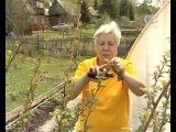 Голова садовая. Как вырастить малину