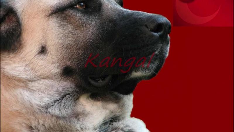 Kangal vs Caucasian Shepherd Dog