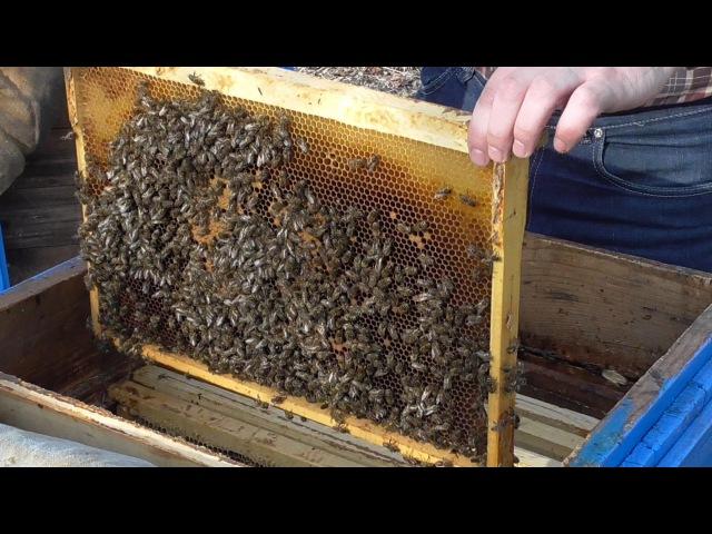 Первый осмотр пчелиных семей весной (март 2015 г.)