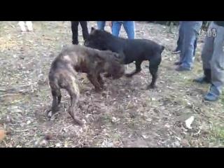 Канарский Дог vs Кане корсо (FIGHT)