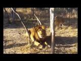 Lioness Scares Lion [720p]