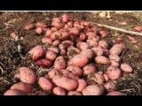 Как сажать картофель, чтобы получить большой урожай