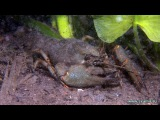 ловля раков на раколовки и руками! подборка видео как ловить раков
