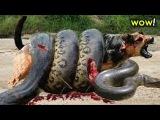 Giant Anaconda Snake vs Dog - Real Fight 🌟 Most Amazing Wild Animal Attacks #34