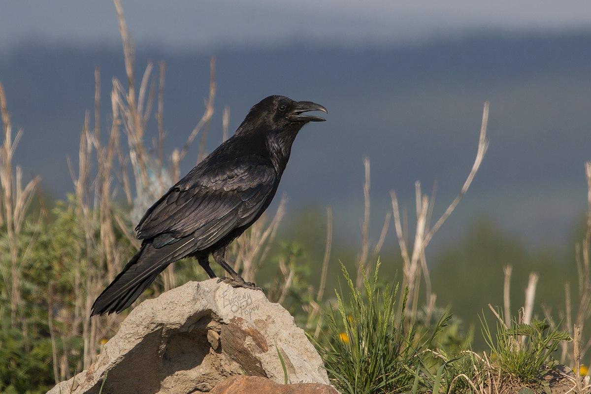 Птицы челябинской области, Ворон, черный ворон, birding Russia