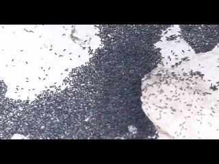 Тульскую область атаковали полчища «снежных блох»: видео