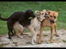 Собачьи бои. Индийские дворняги - Тур в Гоа #2