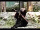 安佐動物公園 ツキノワグマ  クラウド君 Kung Fu Bear
