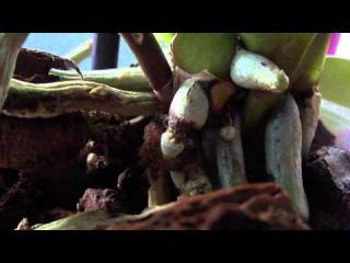 Чёрные перетяжки на корнях орхидеи. Что это такое...