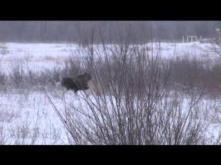 Охота на лося, 7 лосей вышли на номер 2015