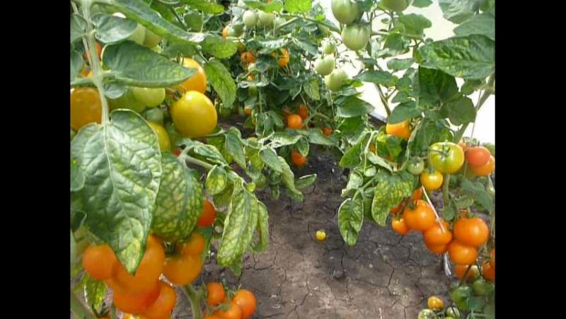 Сорт помидоров Оля Полька от Помидома