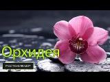 Уход за Фаленопсисом или Орхидея в домашних условиях / Care Phalaenopsis Orchid or or at home
