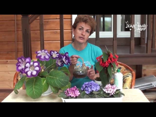 самые красивые комнатные цветы фиалки глоксиния колерия