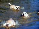 Labrador Father Teaches Puppies To Swim ADORABLE