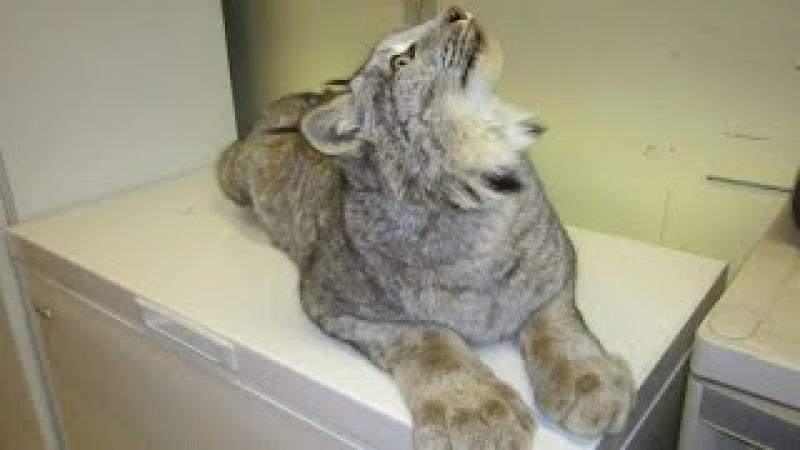 Домашняя рысь - ласковая, как кошка