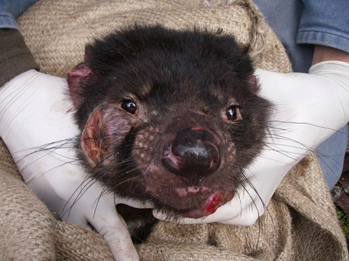 рак тасманского дьявола