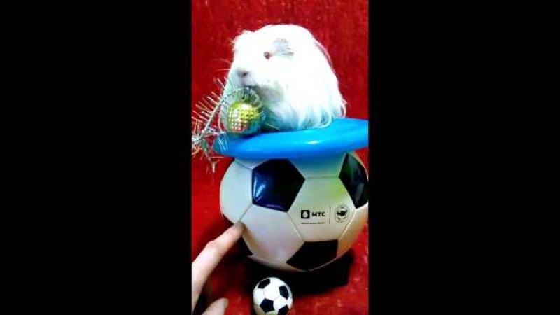 отважная Морская свинка на мячике,с елочным шаром в зубах.