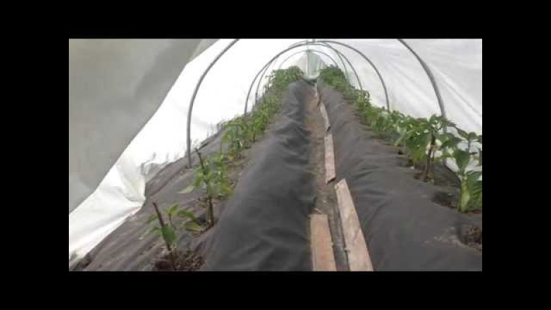 Теплица (ч.3), томаты (ч.20), перец (ч.14), 10.06.2015г.