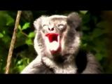 Как поют лемуры
