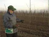 Польский фильм по обрезке яблони