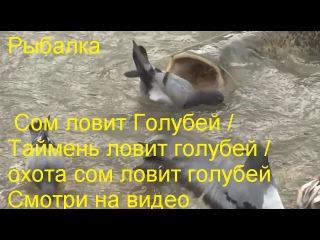 Рыбалка Сом ловит Голубей / Таймень ловит голубей / охота сом ловит голубей