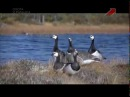 Охота на гусей с манками в Карелии. Часть 2