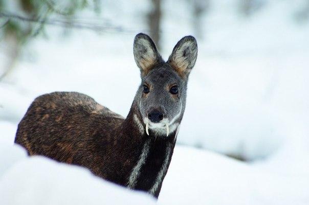 В Томпонском улусе браконьера оштрафовали на 45 тысяч рублей за добытую кабаргу
