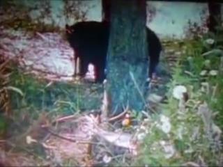 Росомаха против чёрного медведя