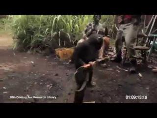 Обезьяна с автоматом Калашникова / Ape With AK 47