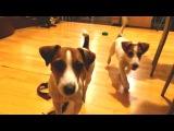 СКОРО! 2 две собаки! Джек рассел терьер собачья жизнь. Щенок дрт и взрослая собака. Elli Di 30 sec.