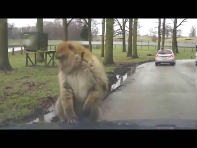 смотреть приколы про обезьян Самая смешная обезьяна
