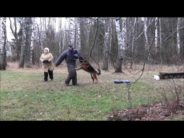 Собака перепрыгивает забор, защищая хозяина