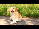 Веселые трюки в исполнении собаки по кличке Кайра