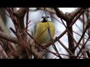 Пение птиц Лазоревка Cyanistes caeruleus