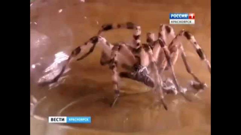ПАУКИ-ГИГАНТЫ. В Новосёловском районе обнаружены пауки неизвестного вида