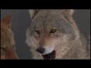 Wolf. Emotions. Волк. Эмоции. дикий мир и поведение животных в нем.